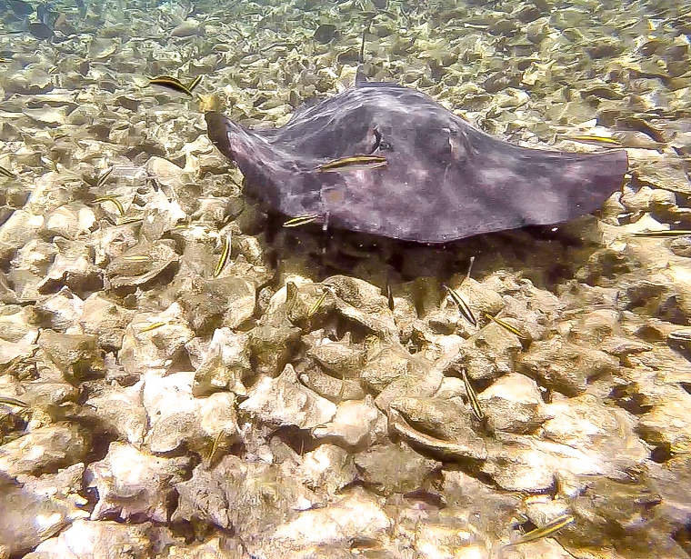 sting ray floating over shells | Caye Caulker snorkeling with Caveman Snorkeling Tours